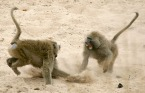 """Life at the Top: Rank and Stress in Wild Male Baboons,"" published in the July 15 issue of the journal Science found that in wild baboon populations, the highest-ranking, or alpha, males have higher stress-hormone levels than the highly ranked males below them, known as beta males -- even during periods of stability. The findings have implications in the study of social hierarchies and of the impact of social dominance on health and well-being, a subject of interest among researchers who study human and other animal populations.  ""An important insight from our study is that the top position in some animal -- and possibly human -- societies has unique costs and benefits associated with it, ones that may persist both when social orders experience some major perturbations as well as when they are stable,"" said lead author Laurence Gesquiere, an associate research scholar in Princeton's Department of Ecology and Evolutionary Biology. ""Baboons are not only genetically closely related to humans, but like humans they live in highly complex societies."""